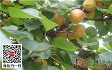 杏树栽培技术