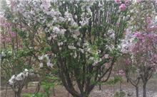 樱花的品种有哪些
