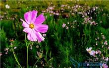 波斯菊花卉种子如何采收保鲜