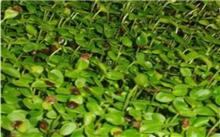 香椿芽菜无土栽培技术