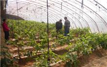 无花果温室栽培