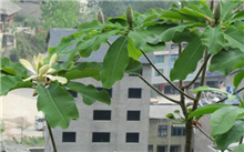 凹叶厚朴的栽培技术