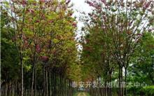 香花槐树种介绍
