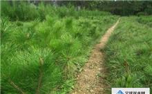油松苗木保湿袋造林技术