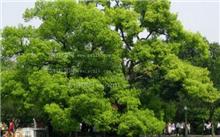 香樟树的生态习性