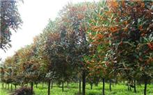 桂花树的养护技术|桂花树的栽培技术