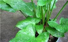 盆栽马蹄莲如何繁殖