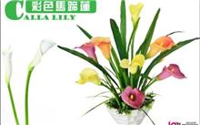 彩色马蹄莲春节开花栽培要领