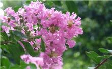 紫薇栽培和病虫害防治
