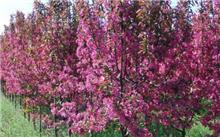 海棠花的栽培技术