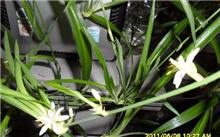兰花品种培育的几个问题