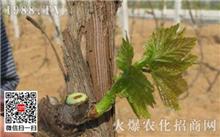 葡萄树冬季修剪方法
