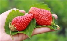 秋植草莓正当时