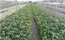 大叶黄杨扦插育苗