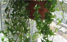 常春藤造型盆栽