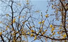 腊梅秋冬栽培法