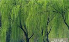 金丝垂柳的栽培要点