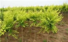常见节水耐旱植物金叶榆的养护措施