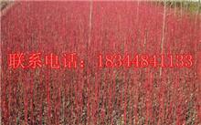 红瑞木的栽培技术