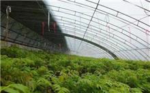 冬季香椿芽的快速培育技术