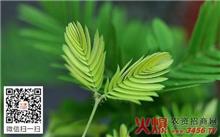含羞草的栽培管理技术