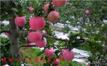红富士苹果的周年整形修剪技术