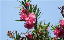 夹竹桃的栽培技术及其应用