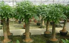 发财树扦插育苗