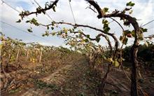 葡萄树夏季管理技术