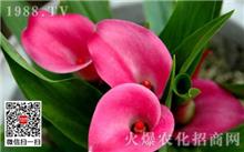 彩色马蹄莲栽培方法