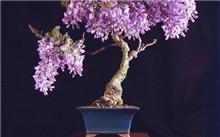 盆栽紫藤的养护