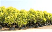 黄金香柳资料|黄金香柳生长习性|黄金香柳繁殖方法