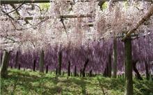 紫藤花架的造型