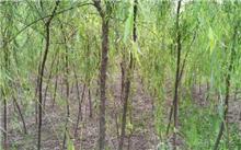 金丝垂柳种植要领