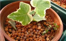 常春藤扦插繁殖