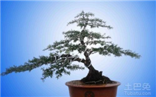 红豆杉盆景养护知识