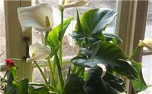 马蹄莲的养殖方法介绍