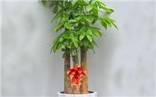 发财树养护要点