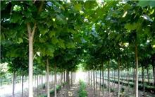 法桐苗木的培育及养护管理
