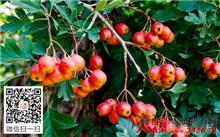 成龄山楂树的增产措施