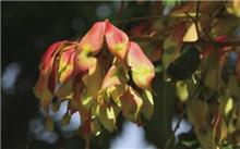 红香椿芽高产栽培技术