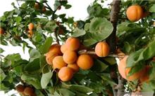 杏树盛果期修剪
