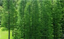 池杉栽培技术