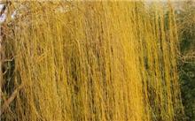 金丝垂柳的扦插繁殖