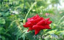 玫瑰病虫害防治方法