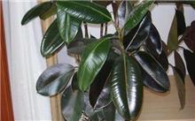 橡皮树有什么特性,怎样栽培?