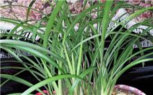 根据兰花的品种和兰苗的健壮程度决定浇水方法