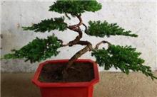 红豆杉盆景的种植