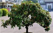 桂花的养殖方法 桂花的栽培养护技术