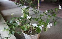 茉莉花养殖方法(三)